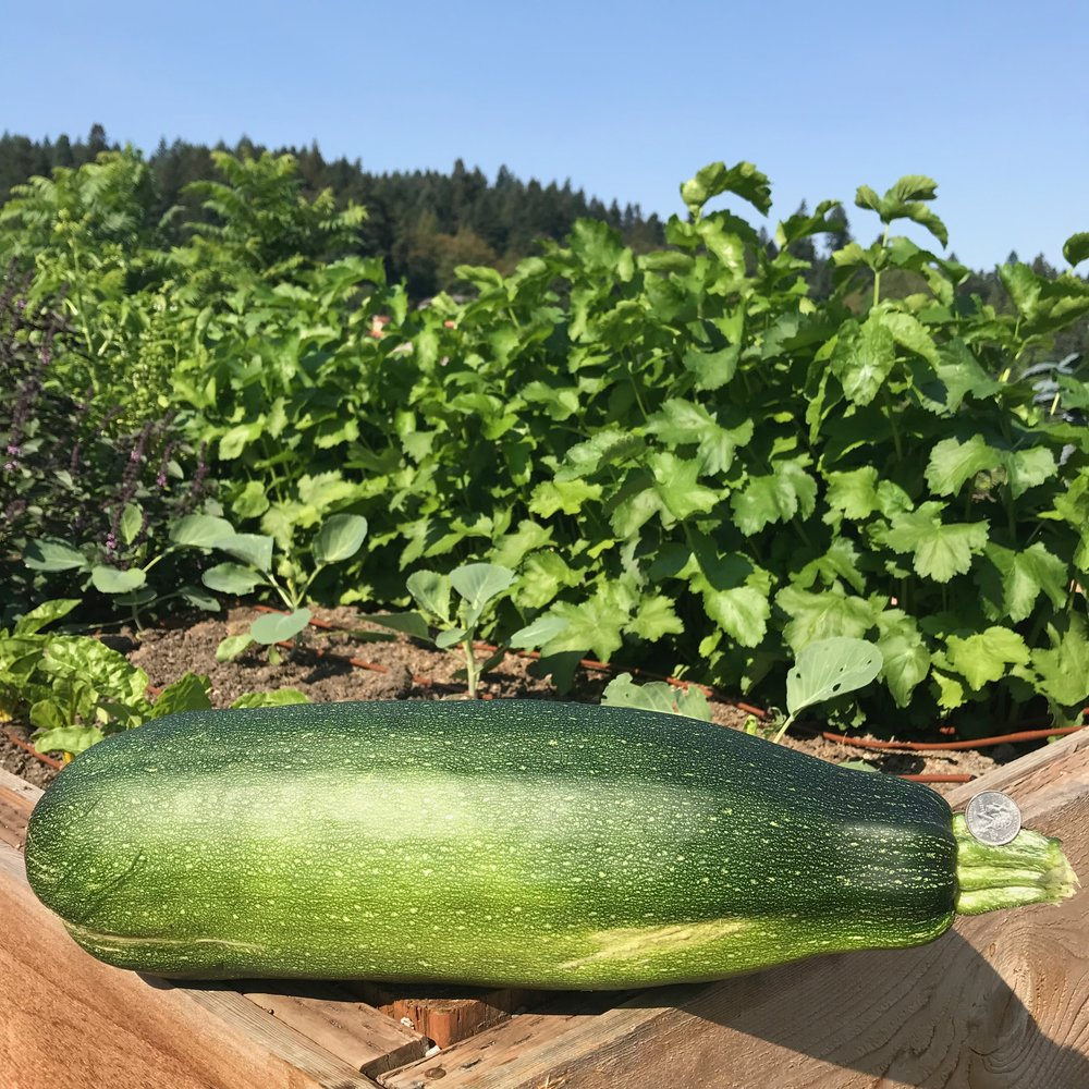 Honkin' Zucchini (see the quarter for scale?)