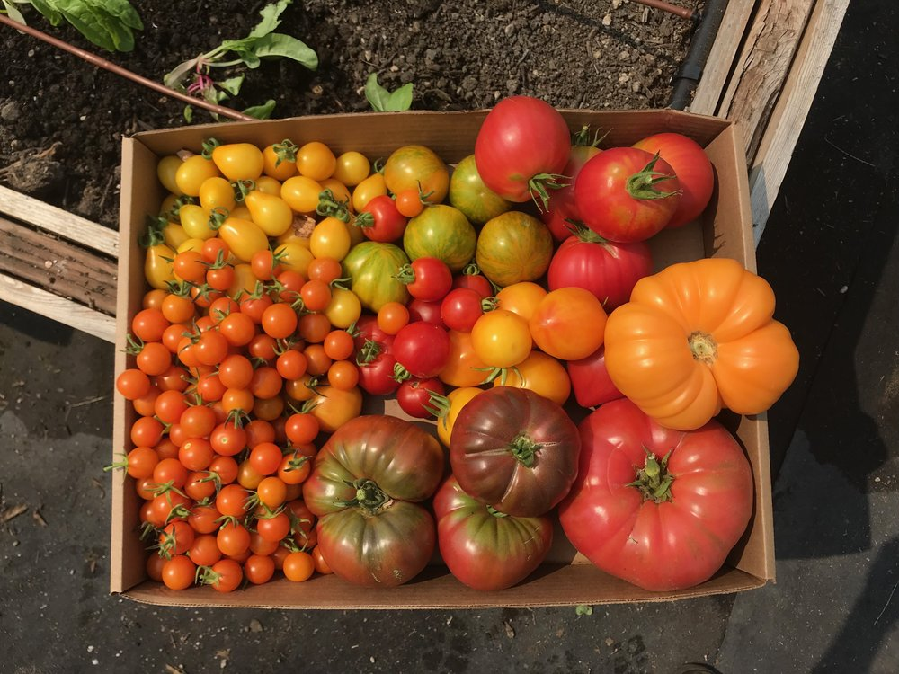 Summer tomato abundance