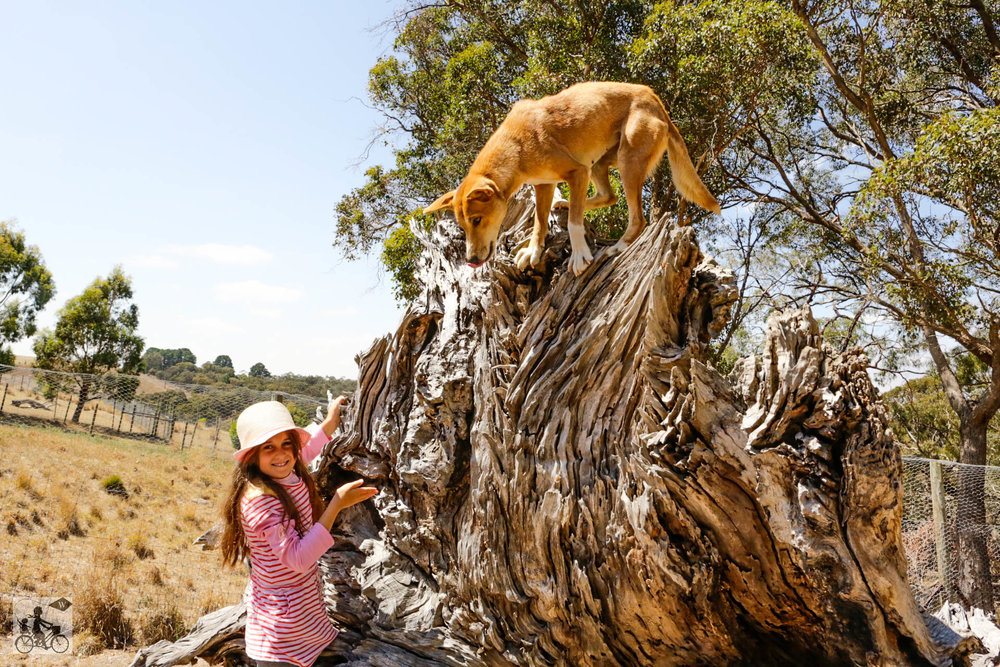 Dingo Discovery Centre - Mamma Knows West