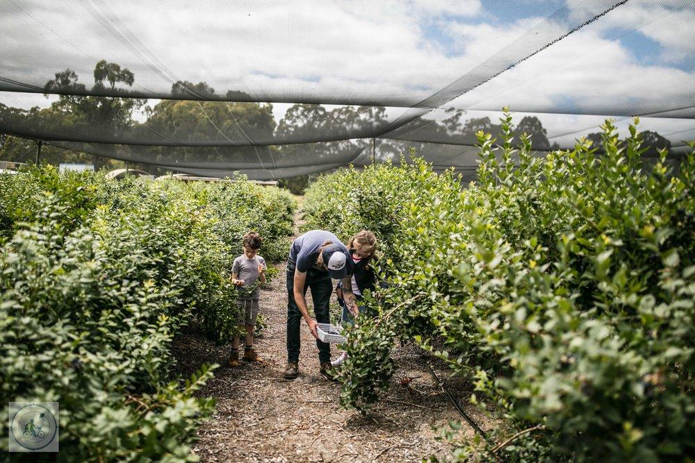 Otways Blueberries Mamma Knows West (32 of 47).jpg