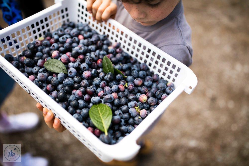 Otway Blueberries, Gellibrand