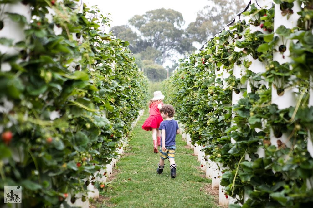 The Strawberry Forest, Bacchus Marsh