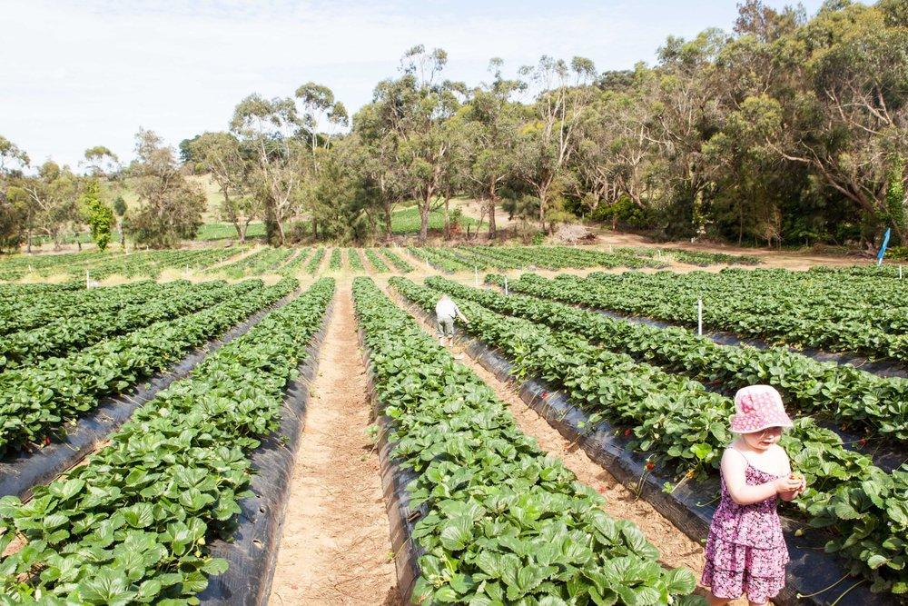 Sunny Ridge Strawberry Farm, Main Ridge