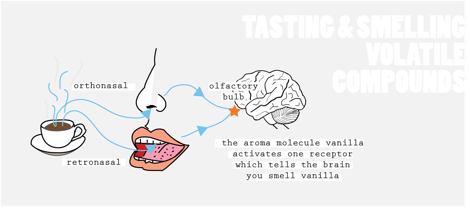 The Fundamentals Of Coffee Tasting Featuring Sensory Scientist Ida Simple Brain Diagram Clipart Best Is A Good Example Complex Product Containing Many Different Moleculesthis Explains Why Requires Lot Training