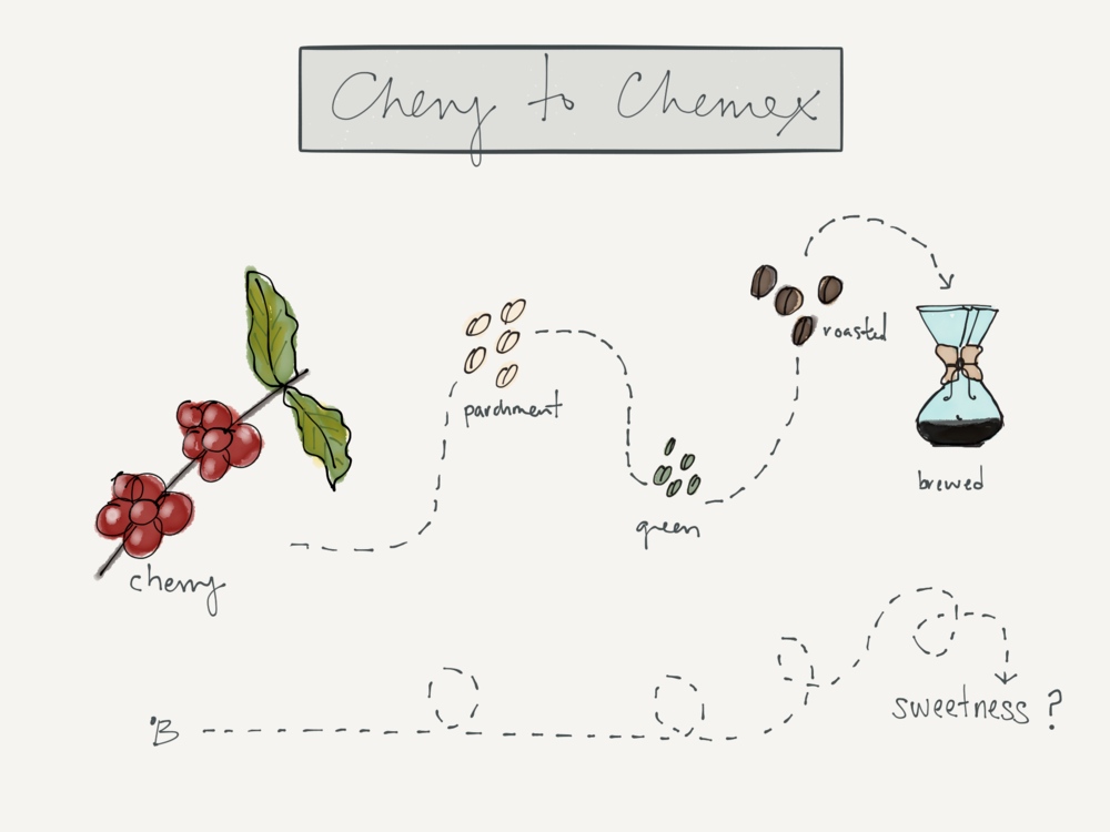 ºB = sugar content measured in the liquid from a coffee cherry. Illustration by Lucia Solis