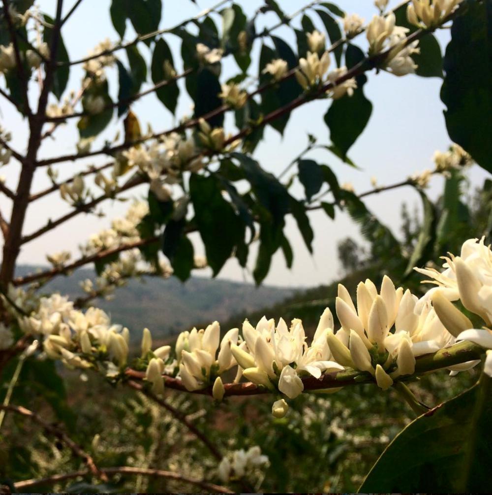 Rwanda_AleidaStone_CoffeeBlossoms.png
