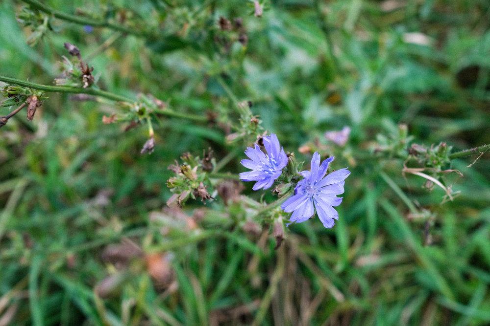 Chicory-70.jpg