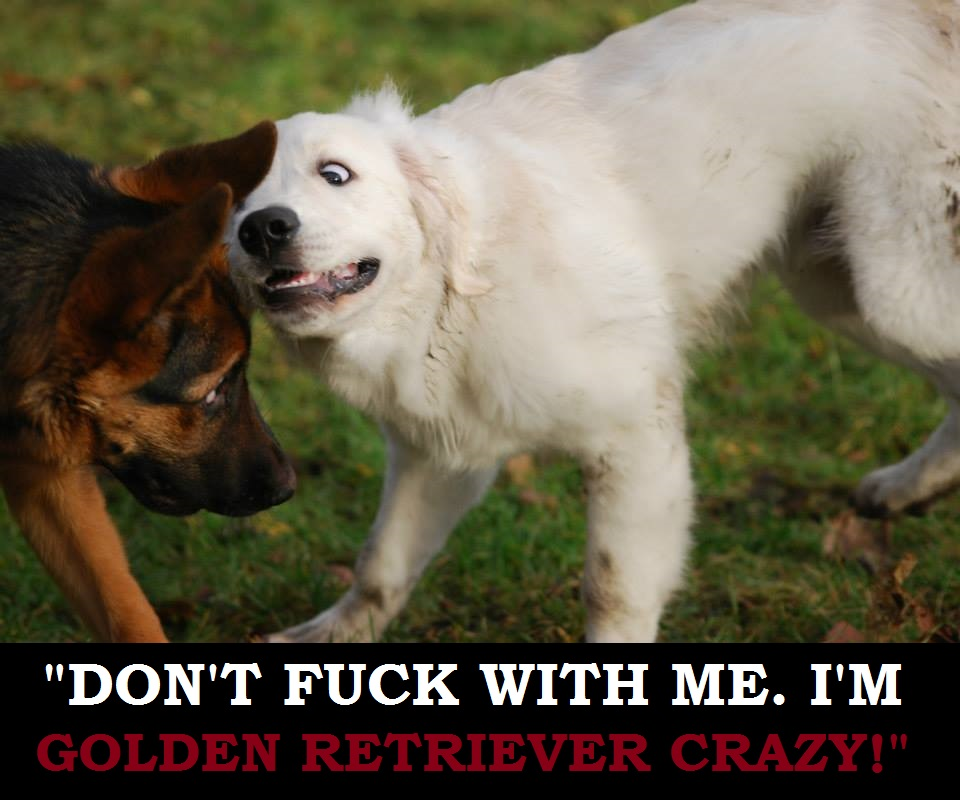02. Golden retriever crazy!.jpg