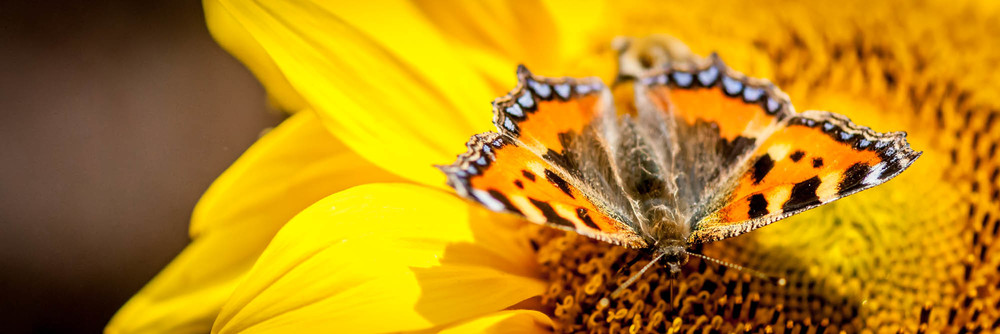 Red Admiral on Sunflower - 20130828.jpg