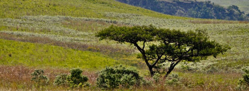 Thorn bush panorama
