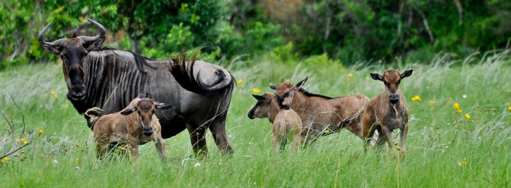 Wildebeest with its calves, Lake Eland