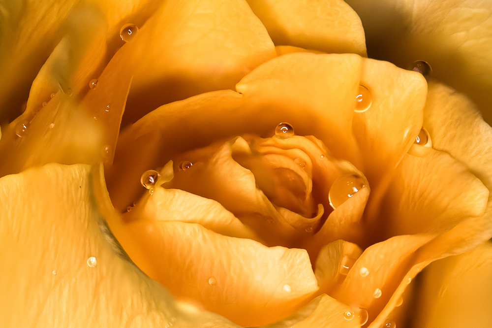 Yellow Rose - FS