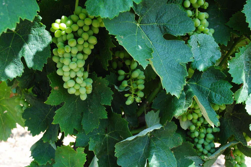 Young Grapes in Wine country