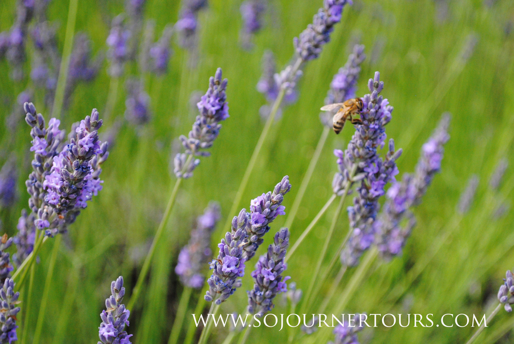Lavender in France: Sojourner Tours