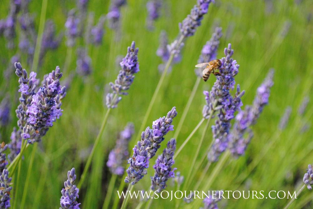 Lavender in France: Sojourner Tours