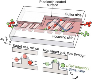 Target cells initiate cell rolling and enter the space between the ridges, which leads them to the gutter side. Non-target cells do not adhere or roll along the surface and maintain their original trajectories.
