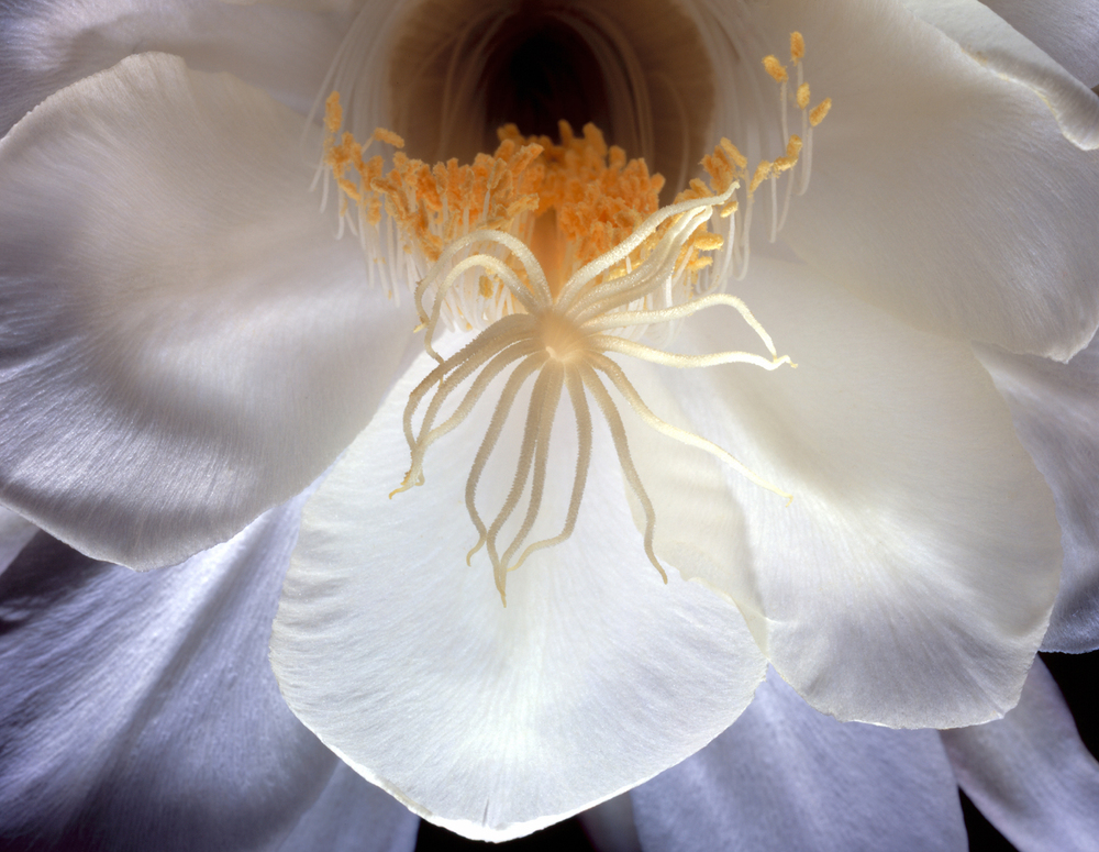 Night Blooming Cereus 4x5x300.jpg