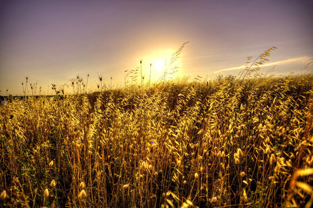 Wheat field sunset.jpg