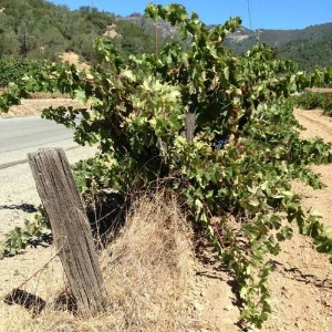 100+ yr old vine Carignan, battling the barbed-wire and winning!