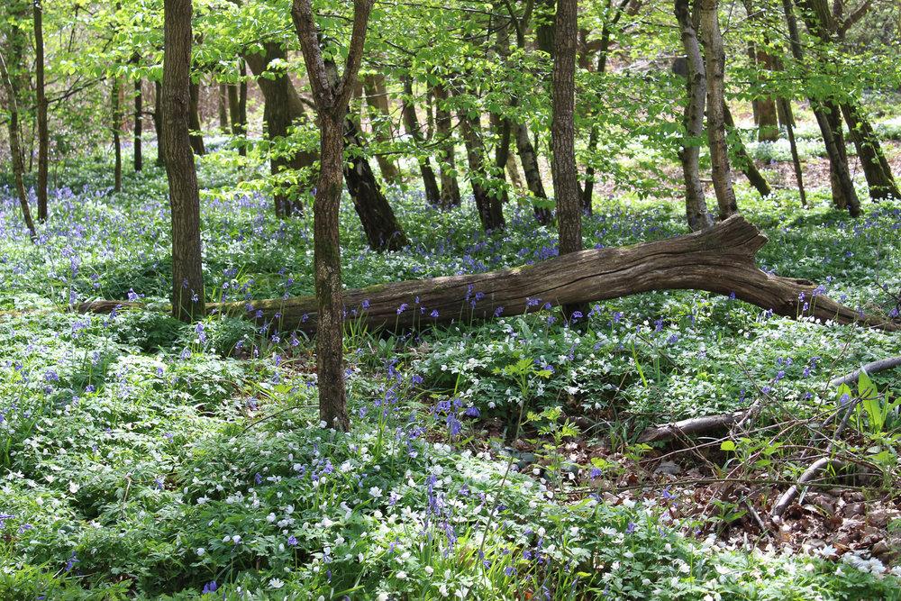 SharonNowell_7_Landscape_Bluebell Heaven.jpg