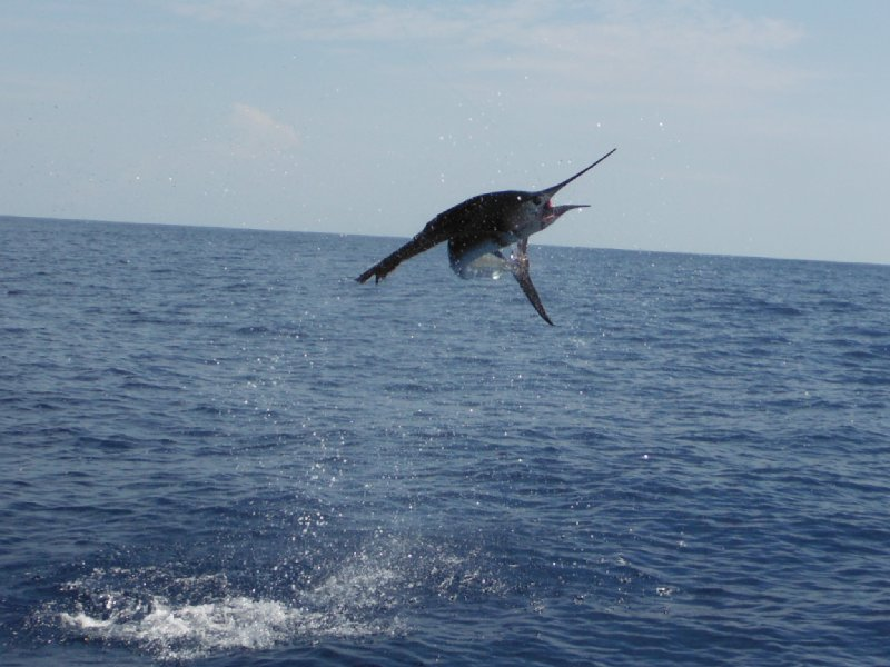 Sailfish leaping from the water while being reeled in by Dennis Souva on Feb. 5