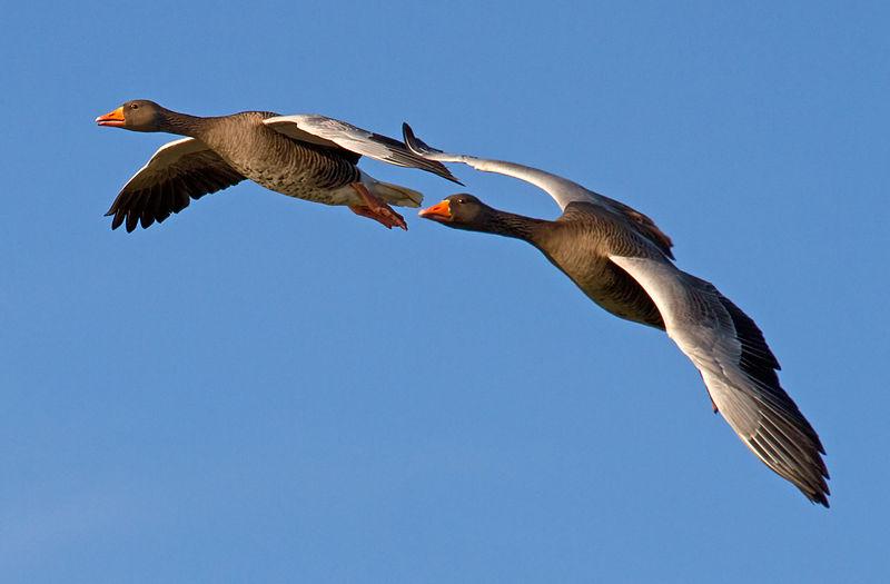 Geese_Flying_Past_2_(6353901547).jpg