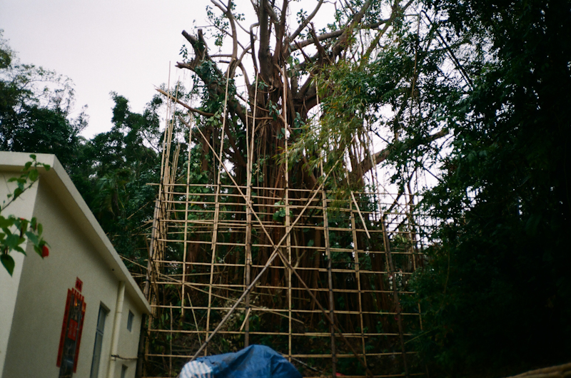 Bamboo scaffolding for a tree. Mui Wo, Lantau.