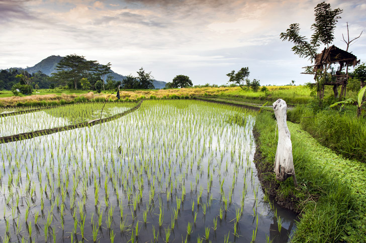 rice-paddy1.jpg