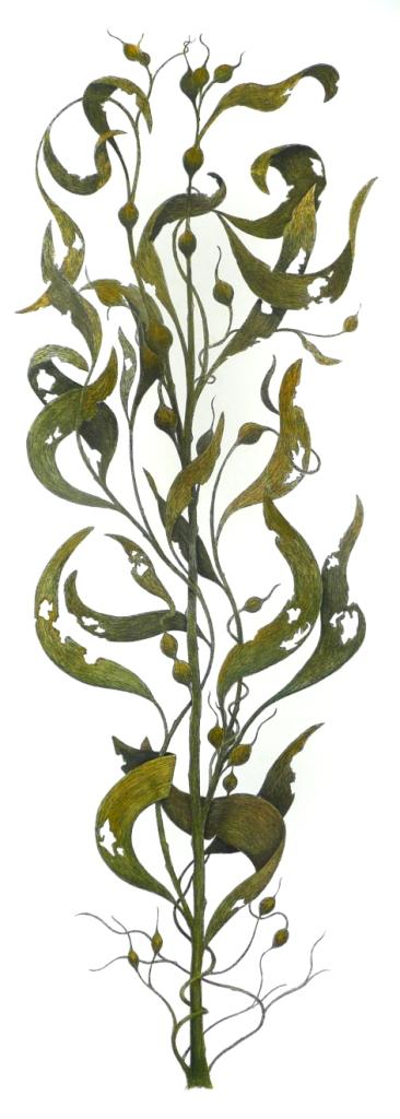 'Sea Kelp'