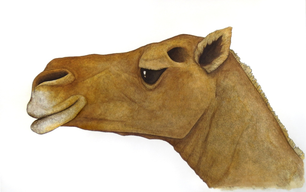 'The Camel'