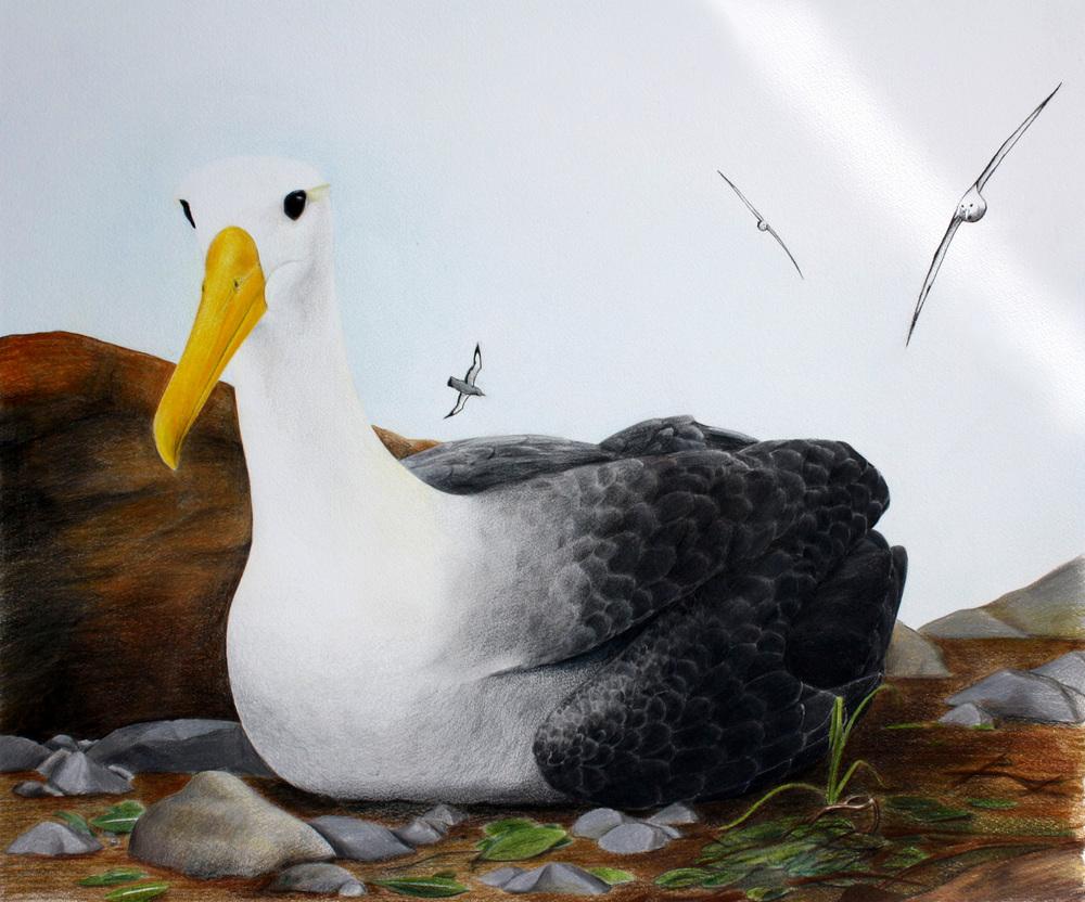 'Albatros'