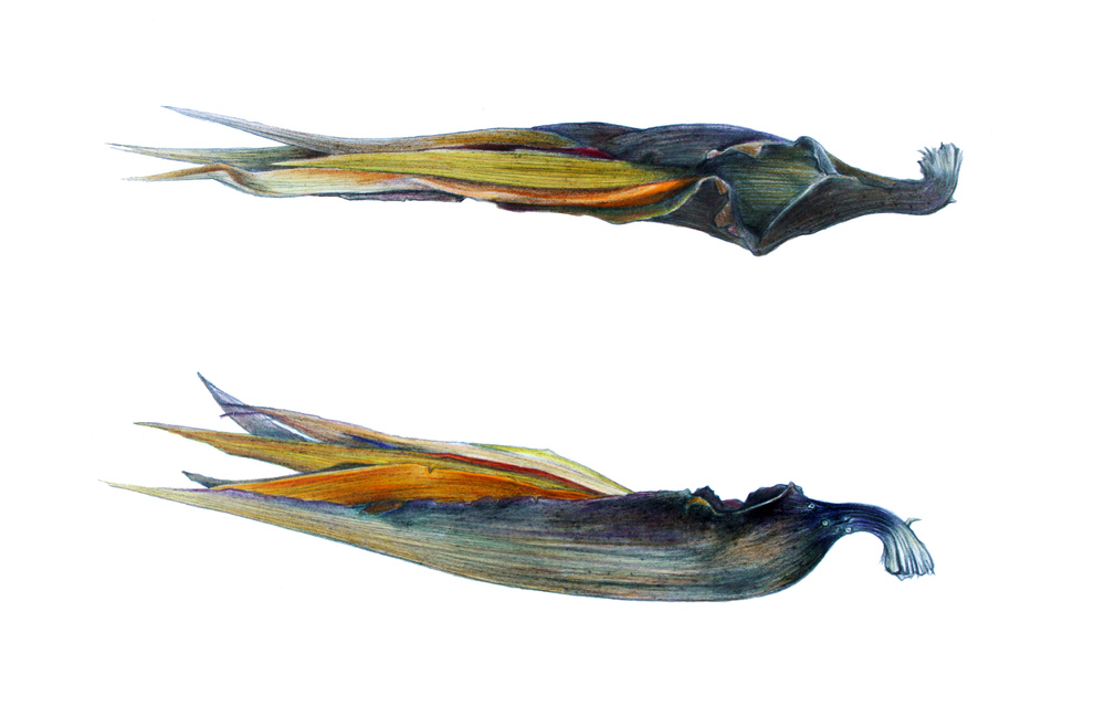 'Strelitzia'