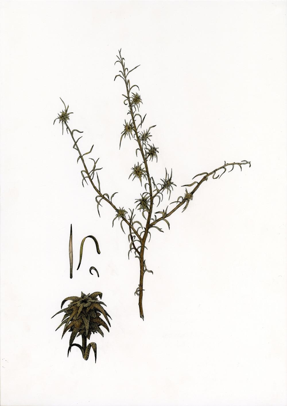 'Euromorphillia'