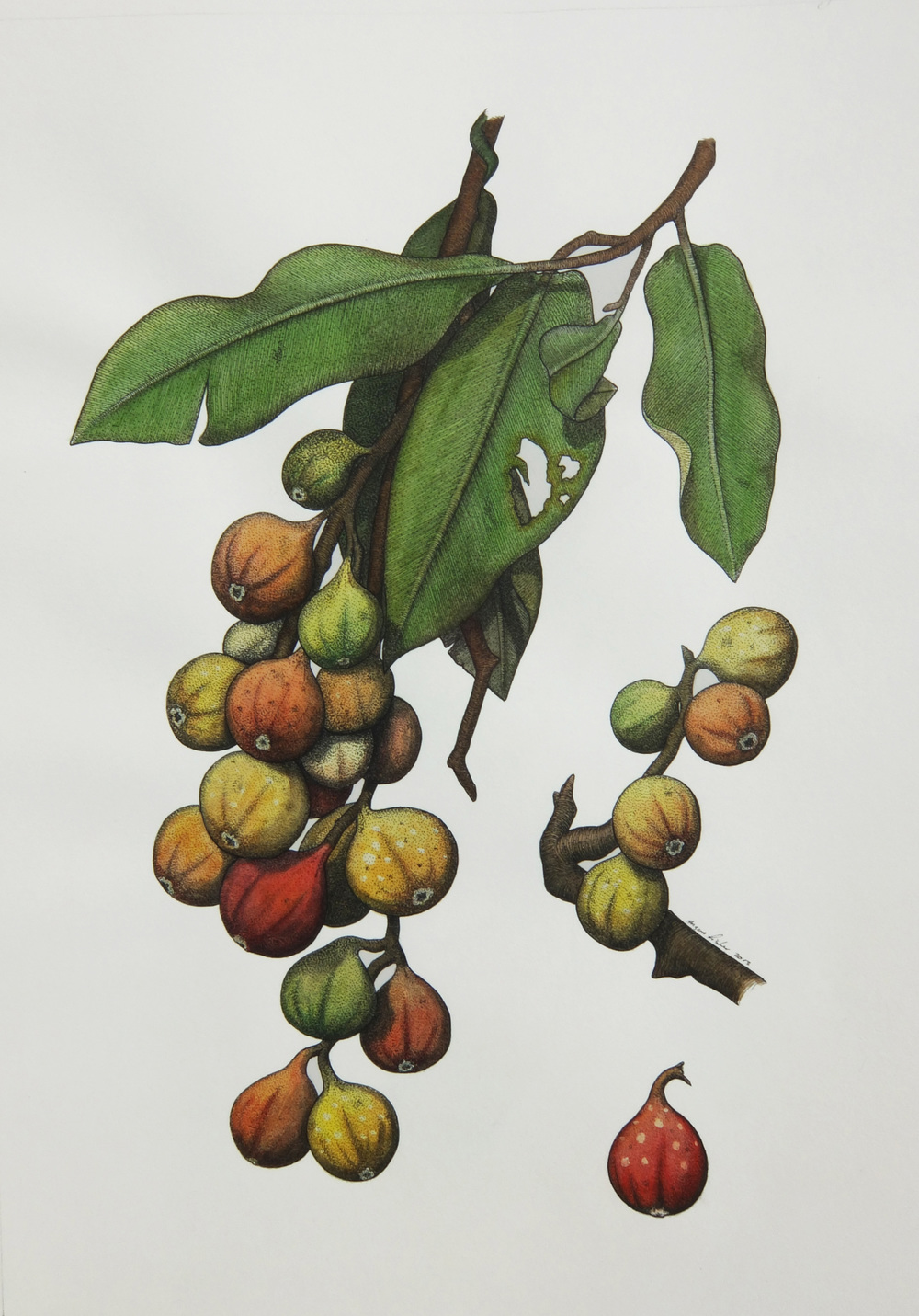 'Native Fig'