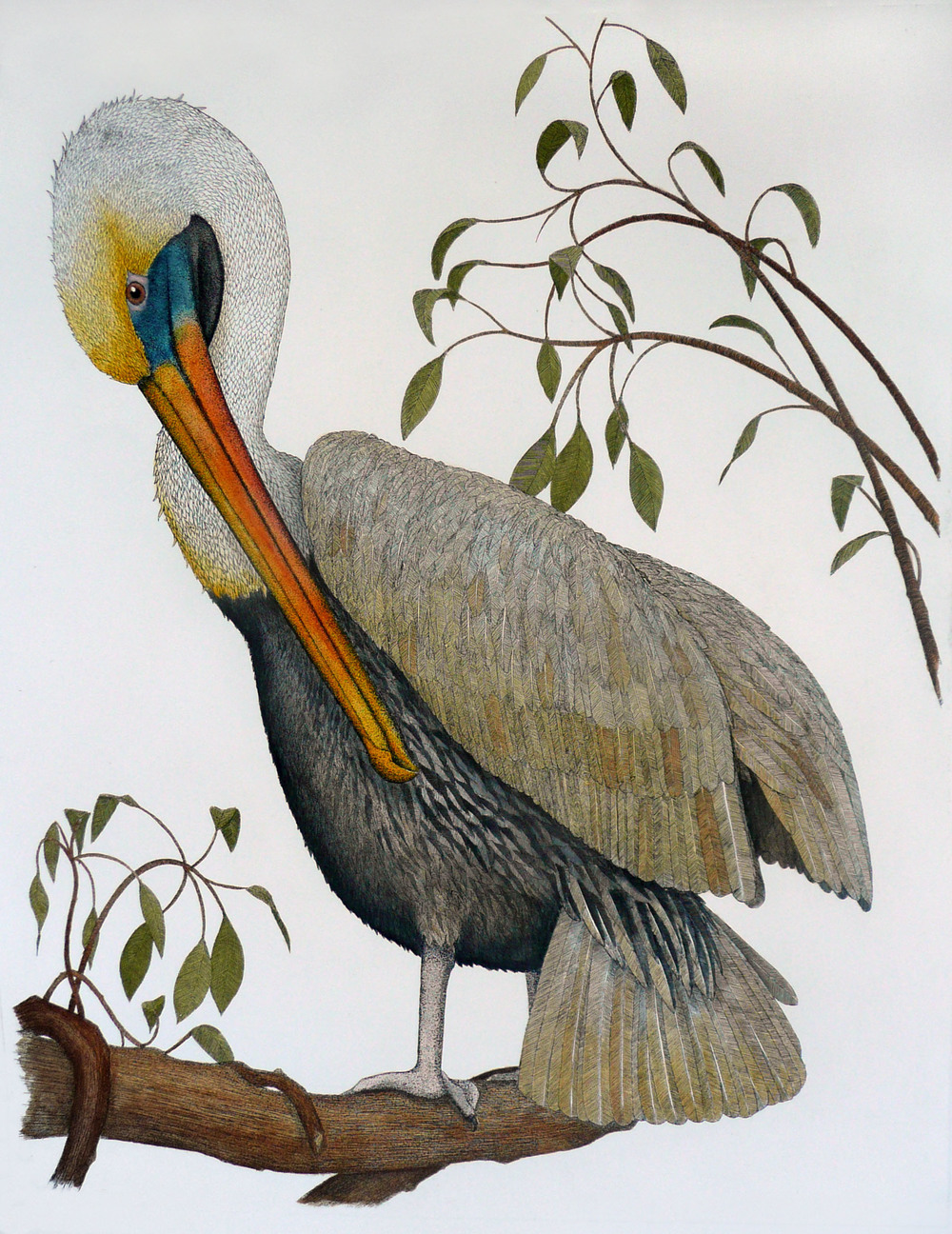 'Brown Pelican'