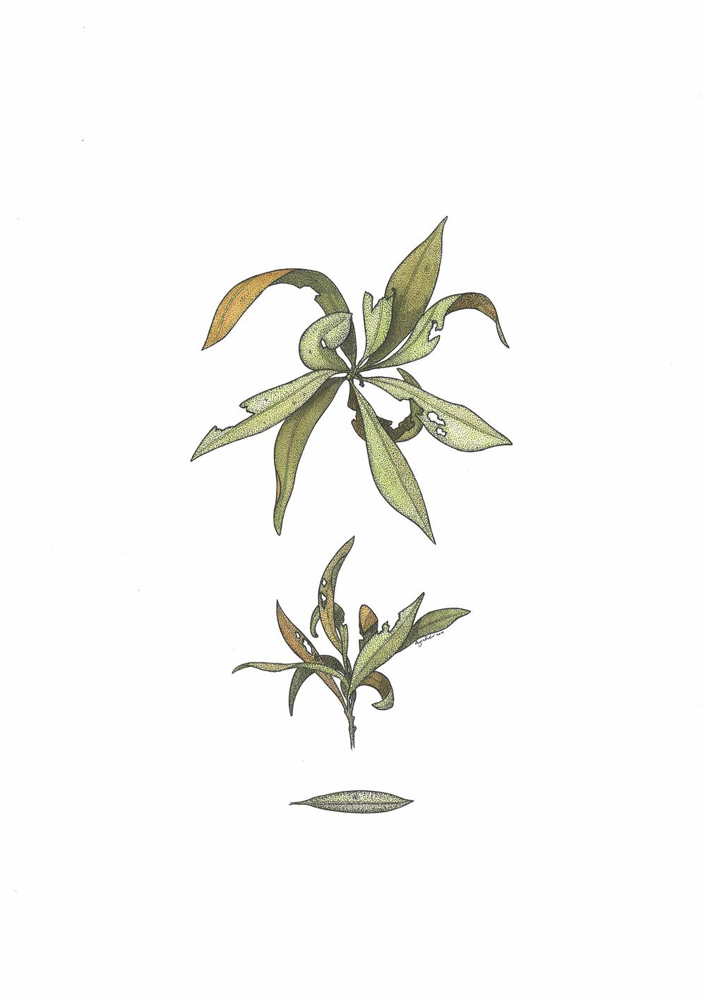 'Eucalyptus Twig'