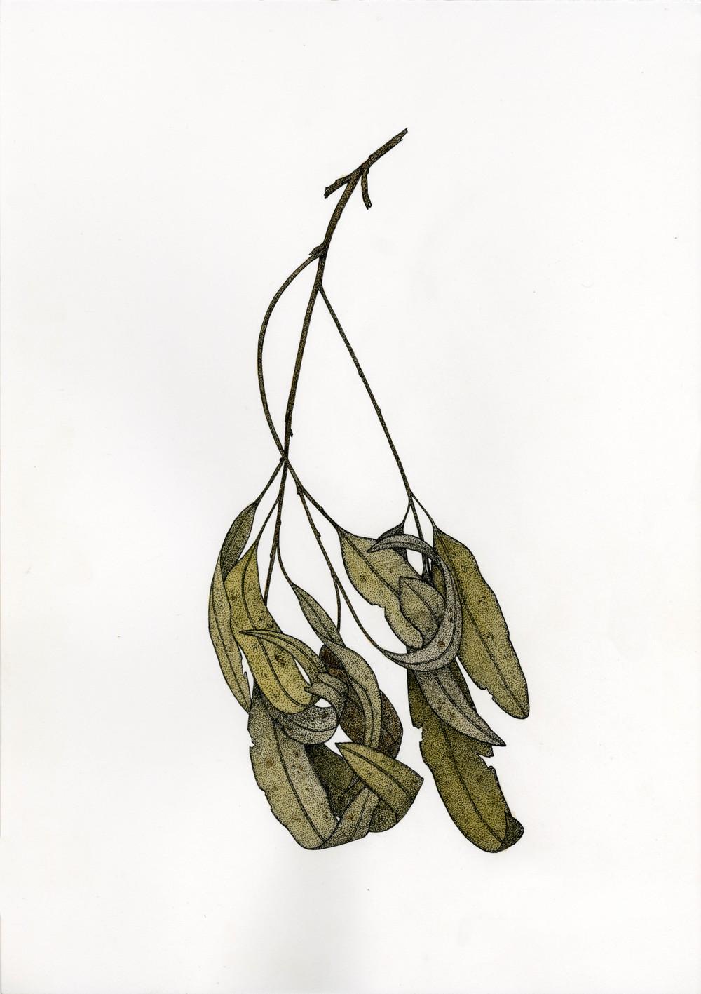 'Eucalyptus Branch'