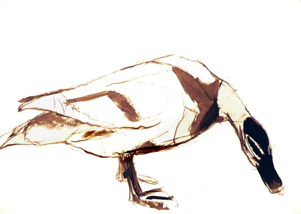 'Australian Wood Duck'