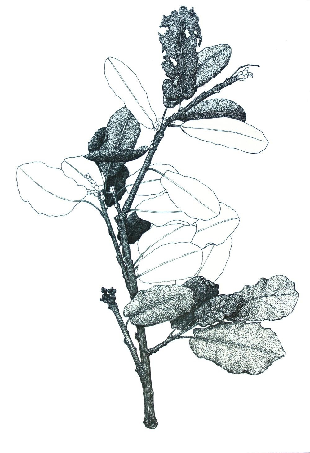 'Oak Twig'