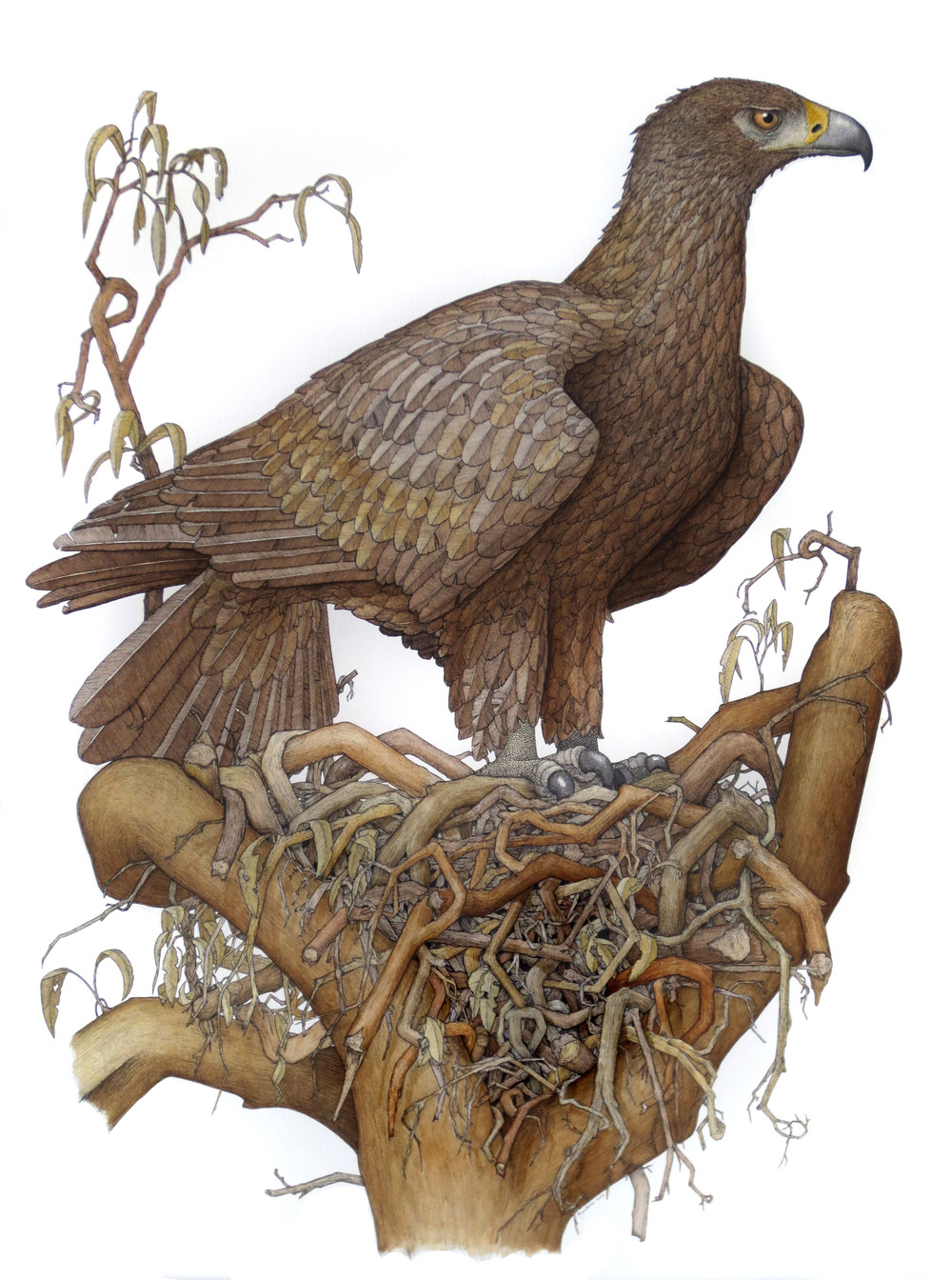 'Wedge Tailed Eagle with Nest'