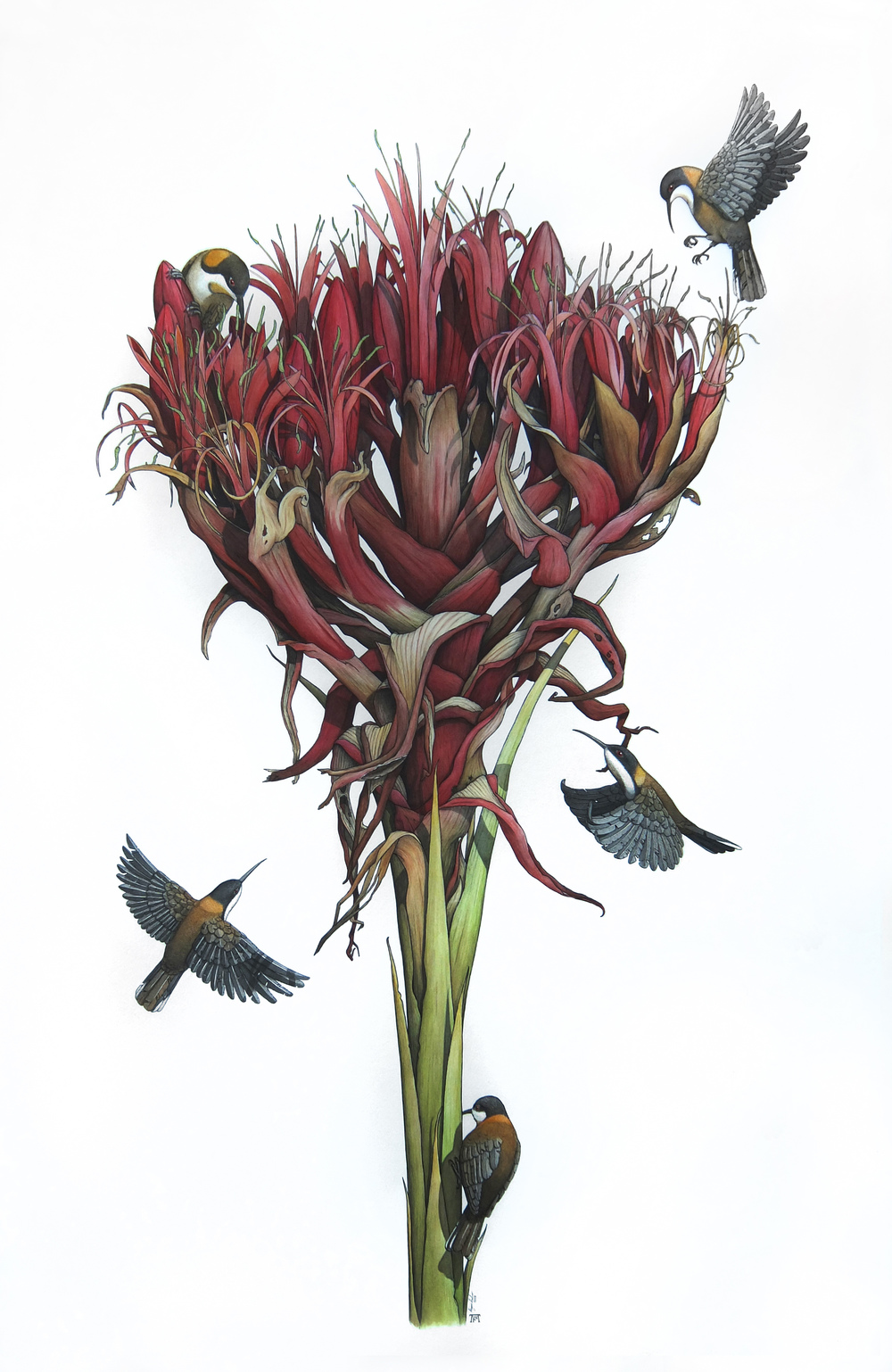 'Gymea Lily With Eastern Spinebills'