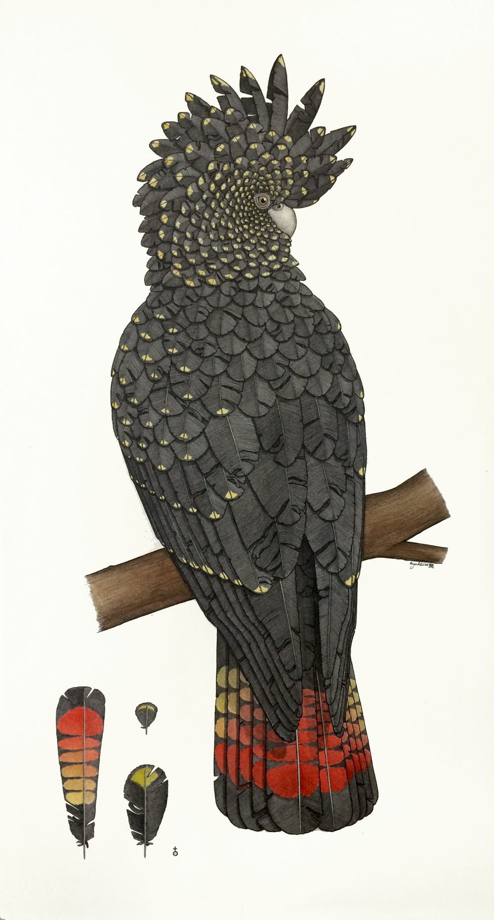 Red-tailed Black Cockatoo (female)