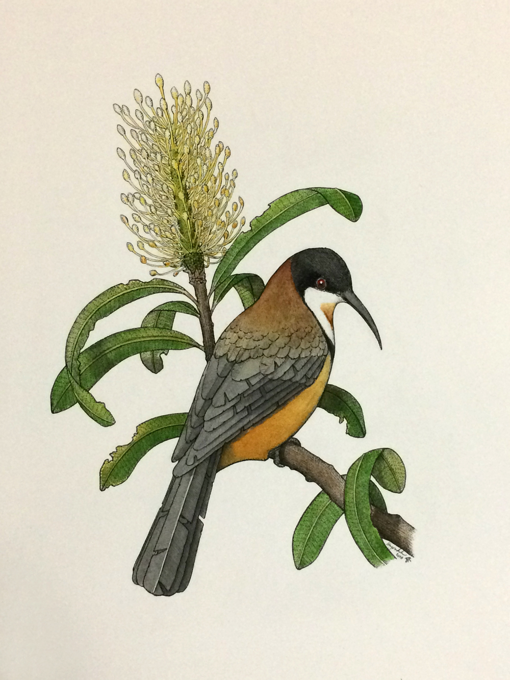 'Eastern Spinebill with Banksia'