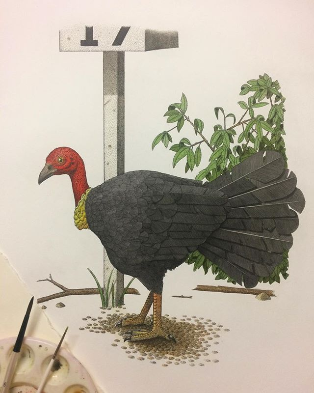 Spent some time over the weekend hand-colouring my latest etching, the 'Australian Brushturkey'. I now have two more birds to go until my 'Sydney Birds' folio is complete. Hoping to get them done in the next few weeks. #etching #intaglio #handcolour #watercolour #watercolor #wip #print #printmaking #brushturkey #bushturkey #australianbird #sydneybird #bird #turkey #art #fineart #mfa #angusfisher