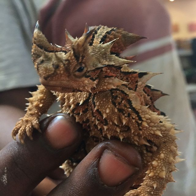 Up in the NT for a couple of weeks and just met this little Thorny Devil. They were my favourite animal as a kid and I still think they're pretty cool. I drew one a couple of years ago up here but this one is far more colourful. #simpsondesert #lizard #desertlizard #thornydevil #devil #monster #australia #reptile #nt