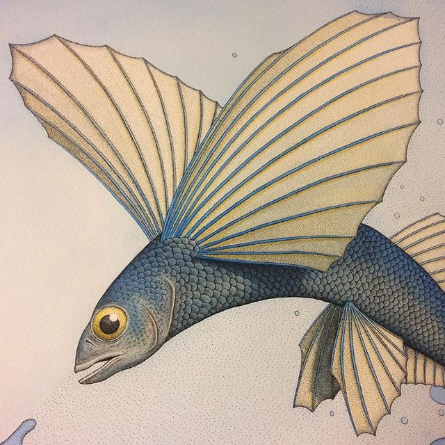 Crop of a Flying Fish from a drawing i'm working on. Spent today putting some colour washes over the top of the pen detail. #drawing #painting #watercolour #watercolor #paint #inkdrawing #pendrawing #fish #flyingfish #australasiangannet #gannet #sea #ocean #wip #wash #angusfisher