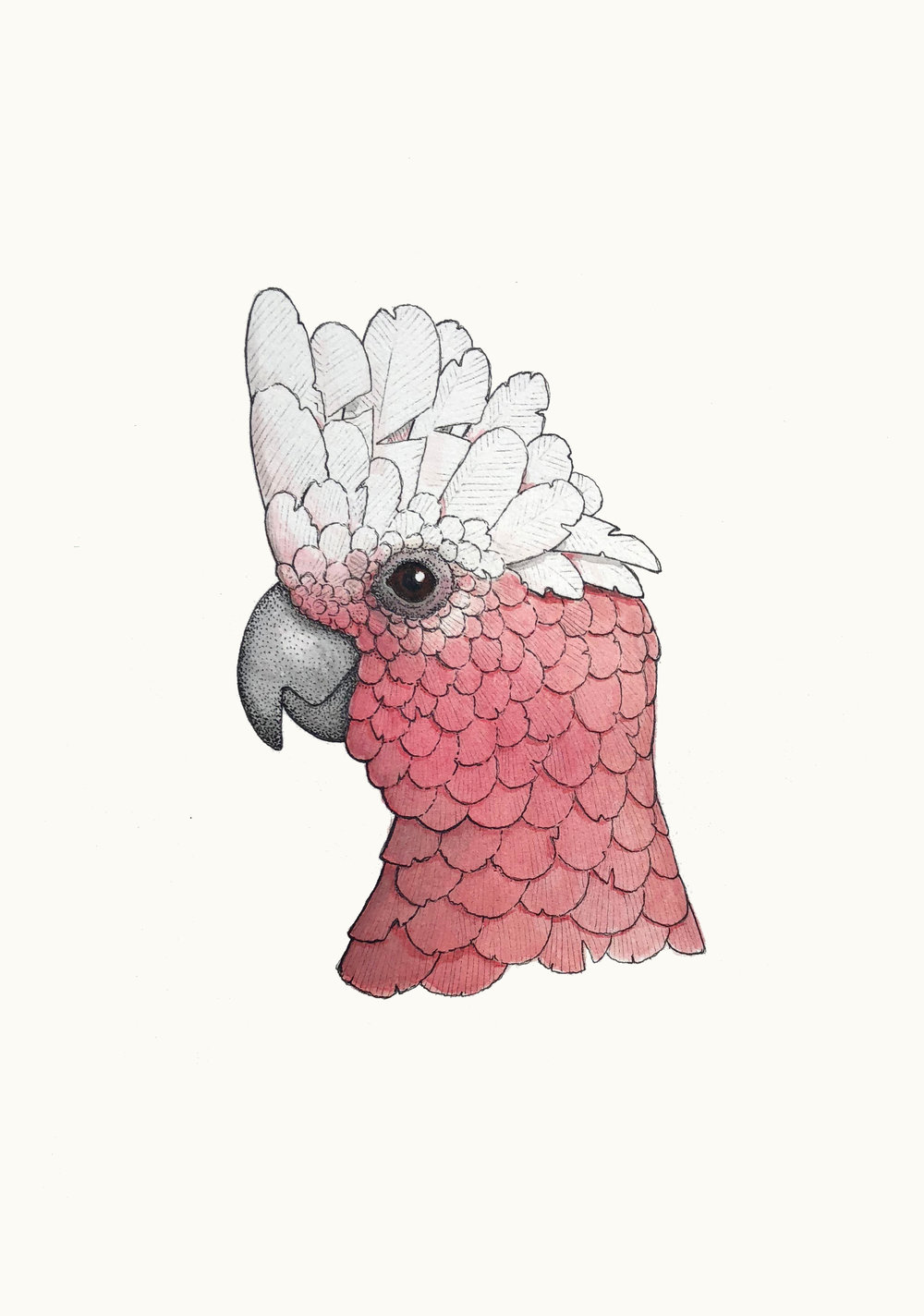 'Portrait of a Galah'