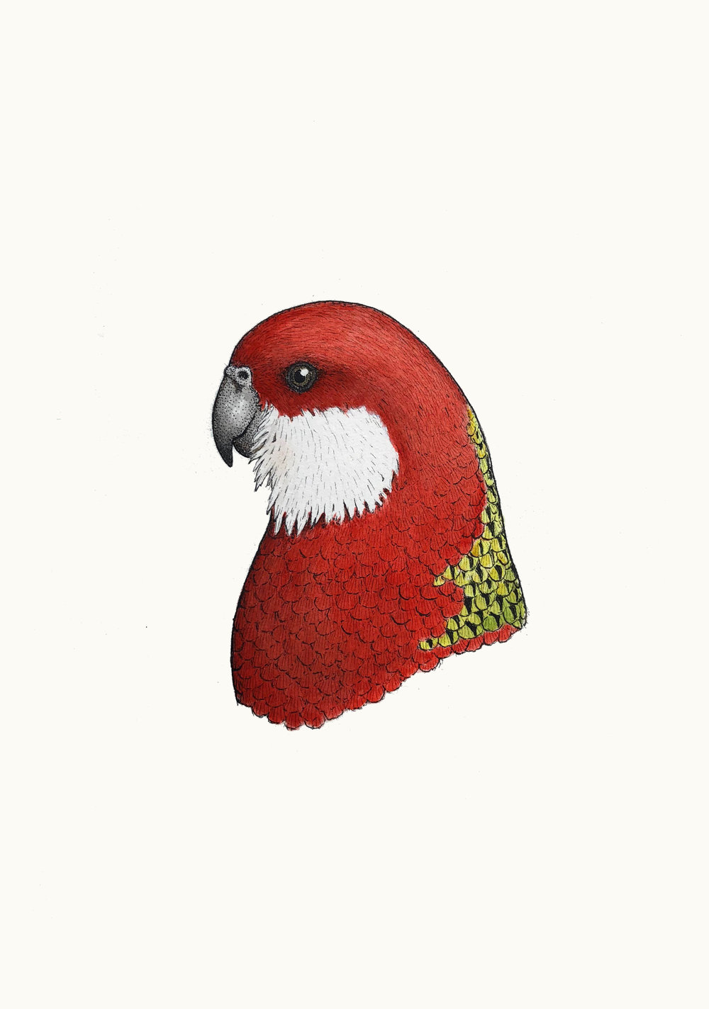 'Portrait of an Eastern Rosella'