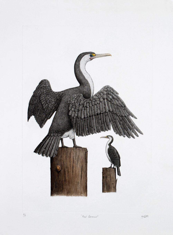'Pied Cormorant'