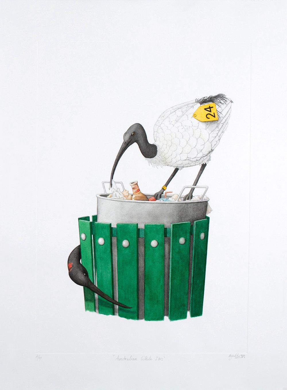'Australian White Ibis'
